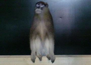 majmun, borski zoo-vrt