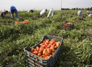 sezonski radnici poljoprivreda foto VOA
